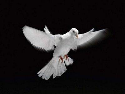 Quatuor de colombes. dans Liens colombe-veille1